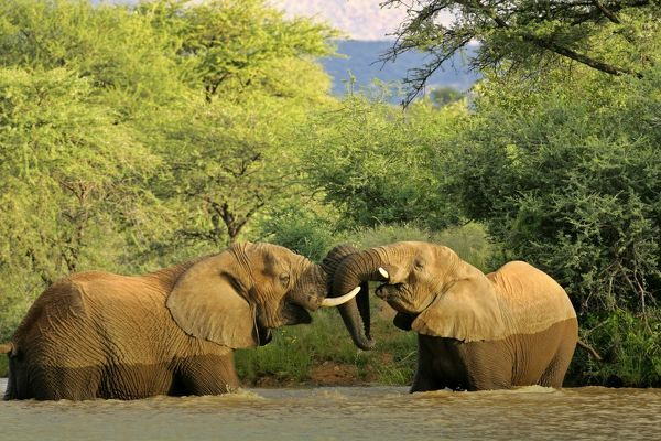 SAS-13 African Elephants - two individuals fighting playfully in a river Namibia, Africa Loxodonta africana Steffen & Alexandra Sailer Please note that prints are for personal display purposes only and may not be reproduced in any way. contact details