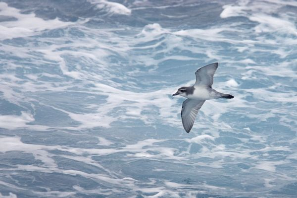 COS-1715 Antarctic Prion - In flight over sea Antarctic Ocean around South Georgia Pachyptila desolata Bill Coster Please note that prints are for personal display purposes only and may not be reproduced in any way. contact details: prints@ardea