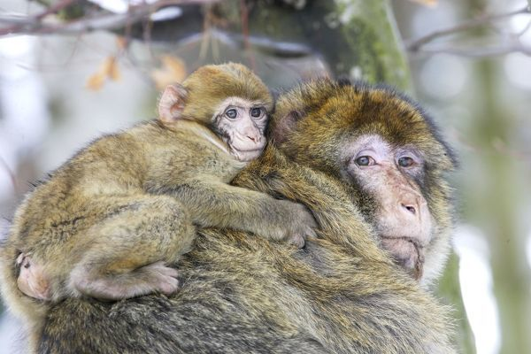 barbary macaque barbary ape rock ape adult climbing with baby on back 1317779 You can leave a comment below (talk trash, ask questions, make predictions, ...
