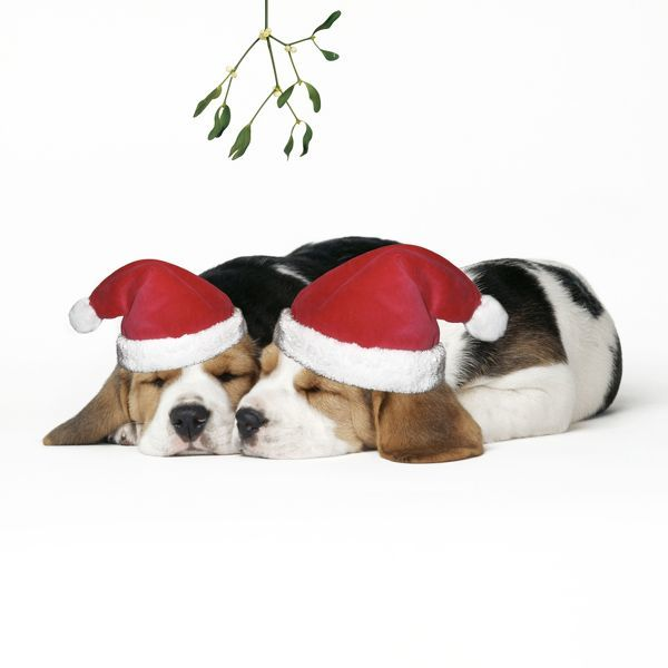 JD-12515-m Beagle Dog - Puppies asleep, wearing Christmas hats under mistletoe. John Daniels Please note that prints are for personal display purposes only and may not be reproduced in any way. contact details: prints@ardea.com tel: 020 8318 1401