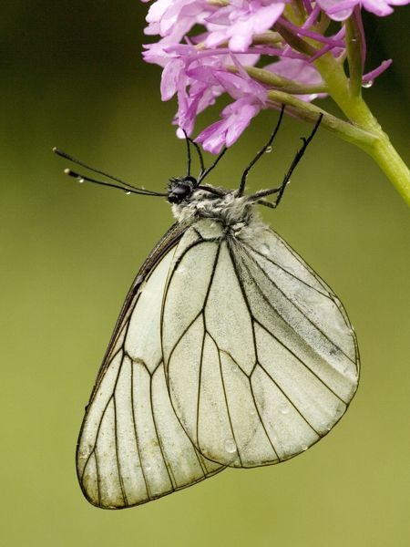 Black-veined white butterfly - on Pyramidal orchid, after rainstorm.