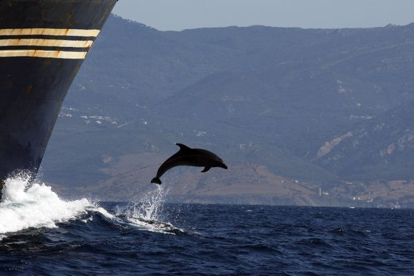 Bottlenose Dolphin - playing / bow riding in front of cargo ship in the strait of Gibraltar