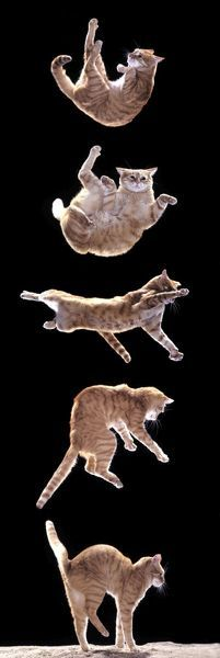 LA-1054-m Cat - Sequence of falling cat Jean Michel Labat Please note that prints are for personal display purposes only and may not be reproduced in any way. contact details: prints@ardea.com tel: 020 8318 1401