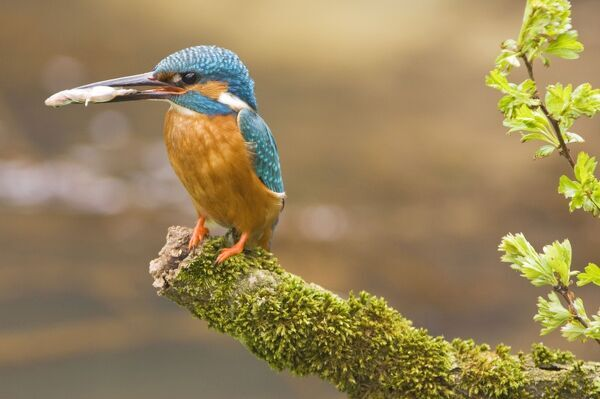 common kingfisher adult male with fish prey in beak 1826109 ... Suit and Tie Sex, Suit and Tie Porn and White Collar Fucking