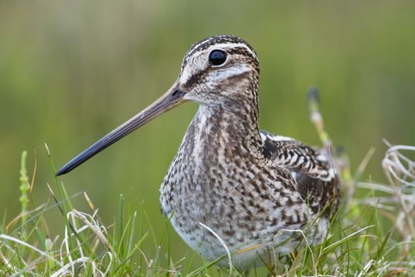 Common Snipe - Close-up of single adult on ground in vegetation