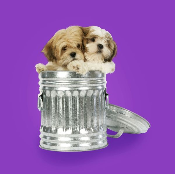 Dog lhasa apso and shih tzu puppies in a dustbin copyright john