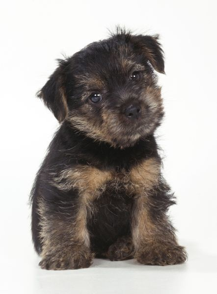 Norfolk Terrier Puppies on Norfolk Terrier Puppy