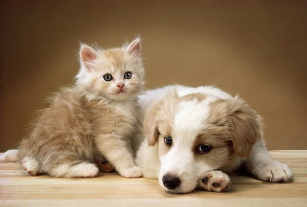 cute puppies and kittens together. Dog - puppy lying together