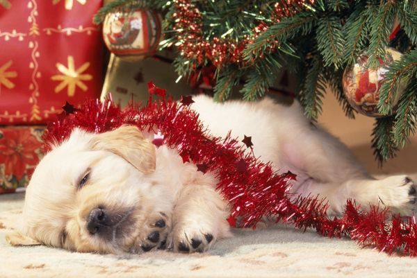 JD-12451 Golden Retriever DOG - puppy sleeping under Christmas Tree John Daniels Please note that prints are for personal display purposes only and may not be reproduced in any way. contact details: prints@ardea.com tel: 020 8318 1401