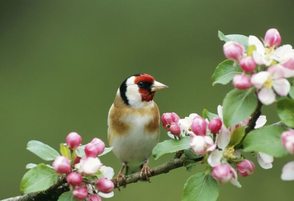 JD-13156 GOLDFINCH - WITH BLOSSOM Carduelis carduelis John Daniels Please note that prints are for personal display purposes only and may not be reproduced in any way. contact details: prints@ardea.com tel: 020 8318 1401