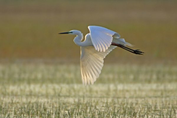 USH-2251 Great White Egret - in flight over water meadow Neusiedler See, Austria Egretta alba Duncan Usher Please note that prints are for personal display purposes only and may not be reproduced in any way. contact details: prints@ardea.com tel