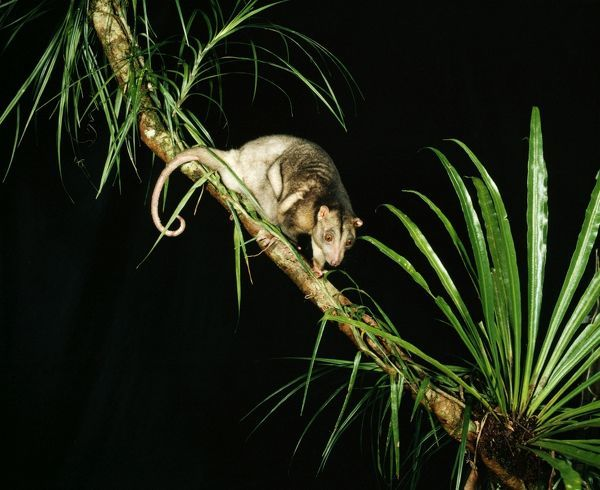 Grey Cuscus. Ardea - wildlife pets environment