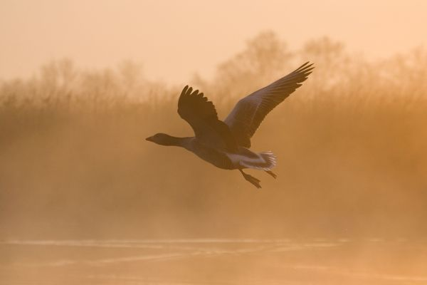 FEU-367 Greylag Goose - taking flight in misty sunrise Hickling Broad, Norfolk, UK Anser anser Geoff du Feu Please note that prints are for personal display purposes only and may not be reproduced in any way. contact details: prints@ardea.com tel