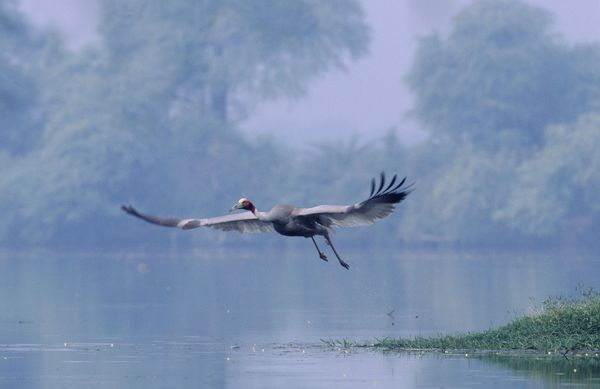 JR-721 Indian Sarus Crane - taking-off Keoladeo National Park, India