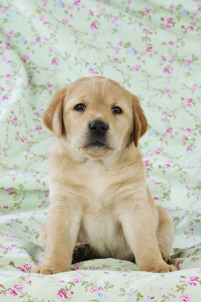 Yellow  Puppies on Yellow Labrador Puppy Sitting On Blanketjd 21003dog  Yellow Labrador