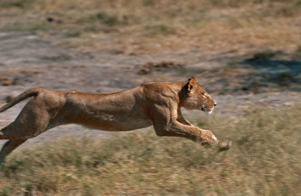 lion lioness running Image Copyright © Chris Harvey/ardea.com ...: ardeaprints.com/lion_lioness_running/print/1302892.html