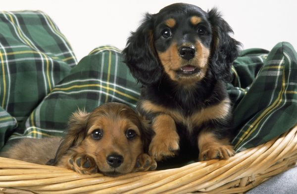 cream long haired dachshund puppies. Miniature Long-haired