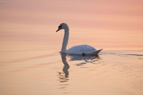 FEU-294 Mute Swan - on calm water at sunrise Hickling Broad, Norfolk, UK Cygnus olor Geoff du Feu Please note that prints are for personal display purposes only and may not be reproduced in any way
