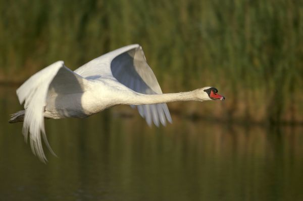 CAN-2243 Mute Swan - in flight. Wings produce loud hum in flight unlike other swans Found on ponds, lakes and slow moving rivers. France Cygnus olor Native to Eurasia. Introduced to North America and elsewhere. Can weigh up to over 20 pounds