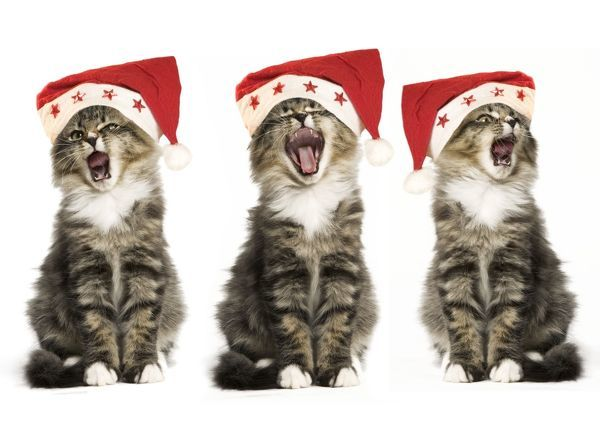 LA-2592-m Norwegian Forest Cat - x3 wearing Christmas hats, singing. Jean Michel Labat Please note that prints are for personal display purposes only and may not be reproduced in any way. contact details: prints@ardea.com tel: 020 8318 1401