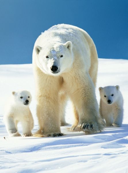 WAT-5751-c-m2 Polar Bear - parent with cubs Ursus maritimus M. Watson Please note that prints are for personal display purposes only and may not be reproduced in any way. contact details: prints@ardea.com tel: 020 8318 1401