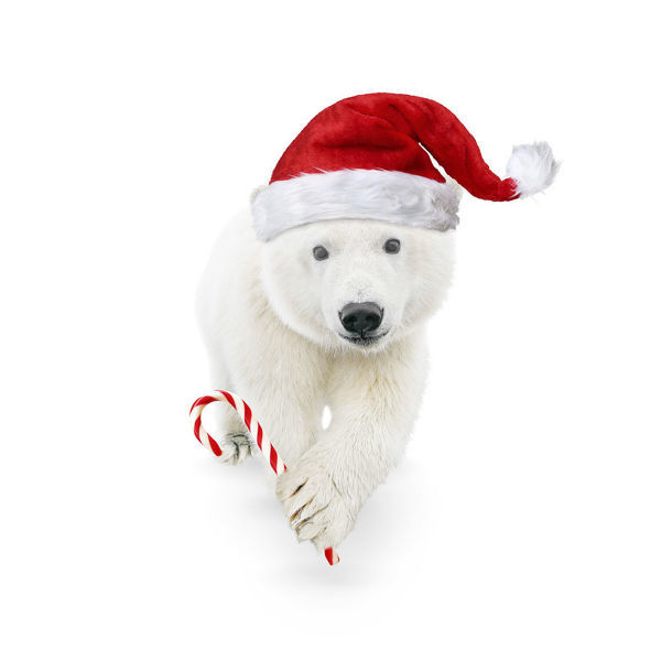 Polar Bear, wearing Christmas hat and holding candy cane Date