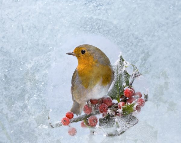 BB-1206 Robin - seen through frost covered window Erithacus rubecula Brian Bevan Please note that prints are for personal display purposes only and may not be reproduced in any way. contact details: prints@ardea.com tel: 020 8318 1401