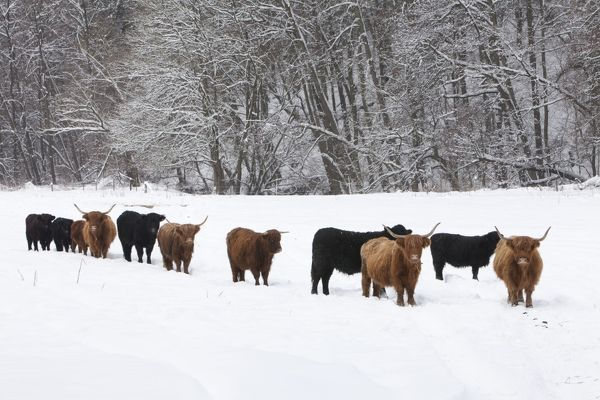 Scottish Highland Cattle and Angus Cattle - herd on snow ...