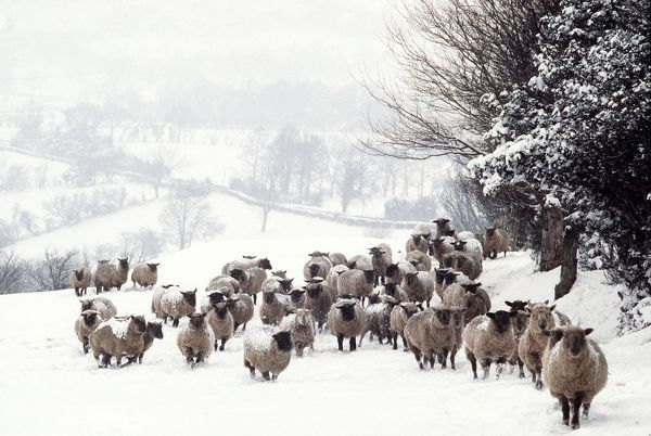 AEB-1779 SHEEP - Crossbreds - in snow Herefordshire, UK Elizabeth Bomford Please note that prints are for personal display purposes only and may not be reproduced in any way. contact details: prints@ardea.com tel: 020 8318 1401
