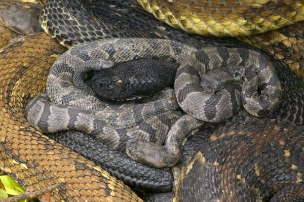 Timber Rattlesnakes - Adult females ...