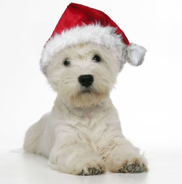 JD-16566-m West Highland Terrier Dog - wearing Christmas hat Westie / Westies John Daniels Please note that prints are for personal display purposes only and may not be reproduced in any way. contact details: prints@ardea.com tel: 020 8318 1401