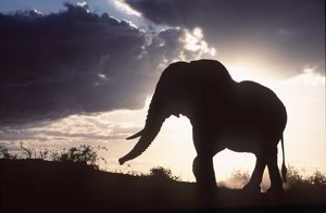 African ELEPHANT - single, silhouette