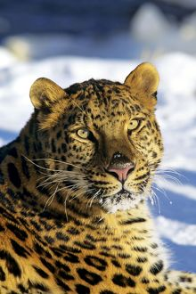 Amur / Korean Leopard