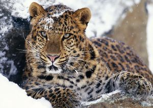 Amur LEOPARD - Endangered species