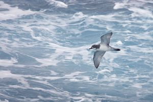Antarctic Prion - In flight over sea