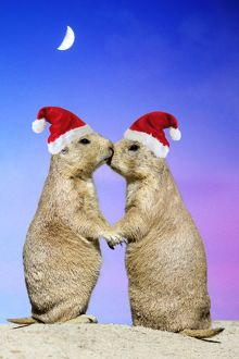 Black-tailed Prairie Dog - pair in Christmas hats showing affection