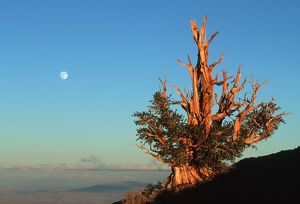 BRISTLECONE PINE - with full moon