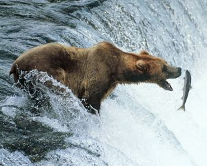 Brown Bear - Catching a fish