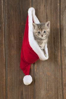 CAT - Kitten (6 weeks) in Christmas hat