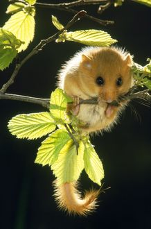 Common / Hazel DORMOUSE - hanging from branch amongst leaves