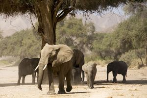 Desert Elephants - Family fInding shade