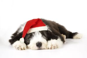 Dog. Bearded Collie puppy lying down wearing Christmas hat