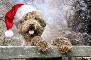 Dog - Brown Labradoodle