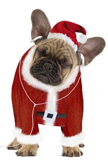 Dog - French Bulldog dressed as Father Christmas listening to earphones
