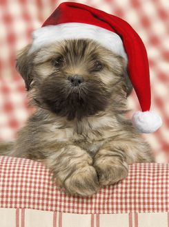 Dog - Lhasa Apso - puppy wearing Christmas hat