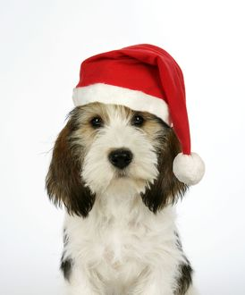 Dog - Petit Basset Griffon Vendeen puppy - 4 months old - wearing Christmas hat