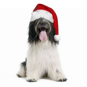 Dog - Schapendoes or Dutch Sheepdog wearing Christmas hat