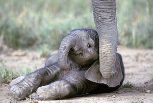 Elephant - baby lying on ground