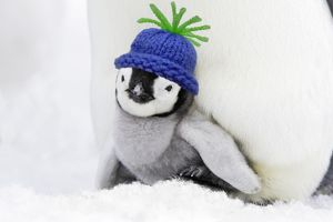 Emperor Penguin - chick sheltering on adult's feet with woolly hat