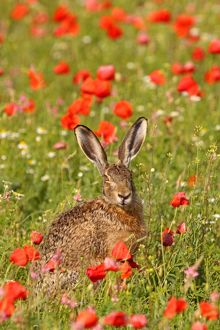 European / Brown Hare - in poppy field